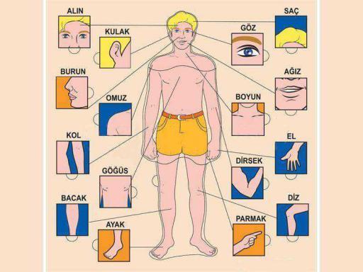 Vücut parçaları organlar
